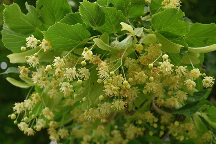 fiori-di-tiglio_NG1